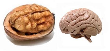 Walnut – Brain