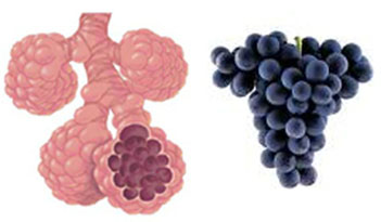 Grapes – Lungs